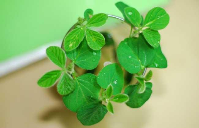 黄豆的生长过程