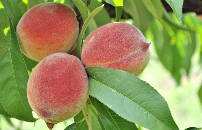 水蜜桃产地在哪里