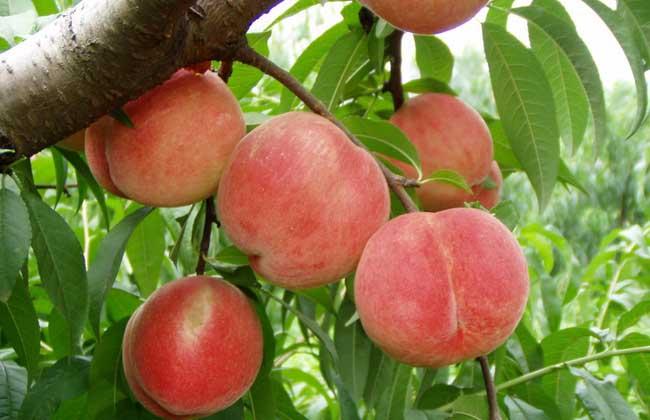 水蜜桃的营养价值