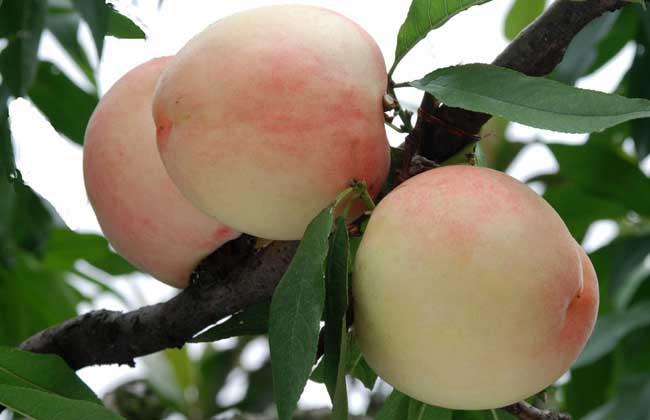 水蜜桃的种植技术
