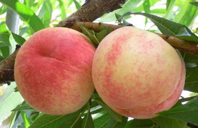 水蜜桃什么时候成熟?