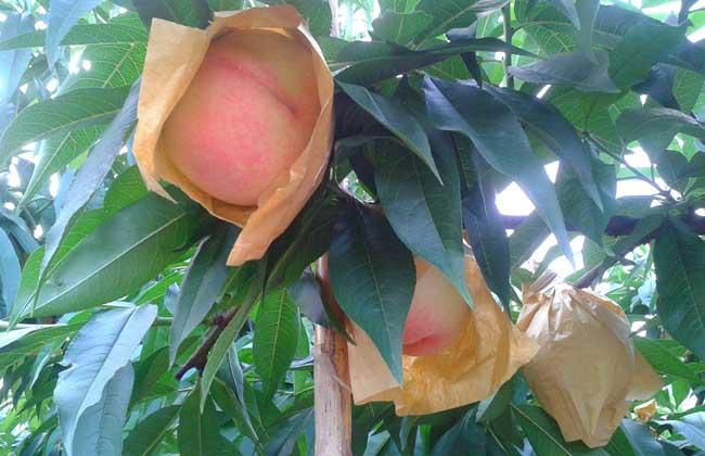 水蜜桃什么时候成熟