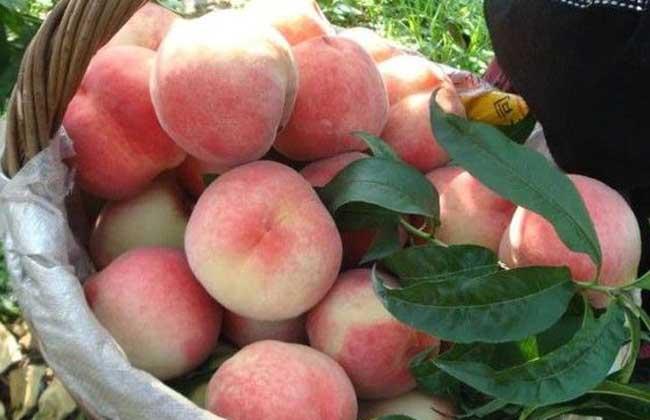 水蜜桃种类图片大全(2)