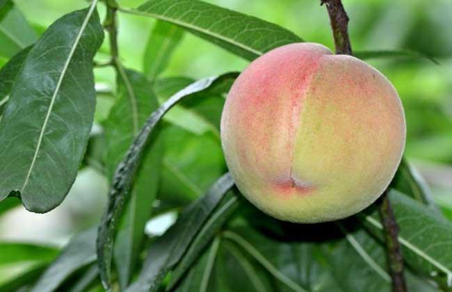 怀孕可以吃水蜜桃吗