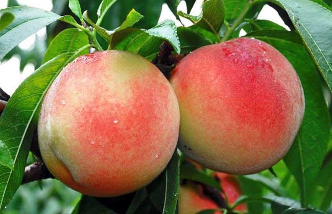 水蜜桃和桃子的区别