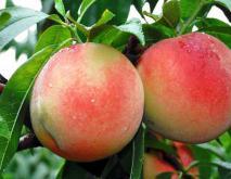 水蜜桃种类图片大全