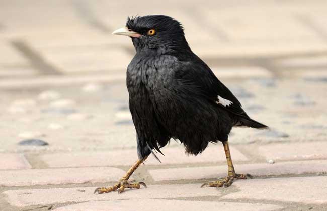 八哥鸟能活多少年