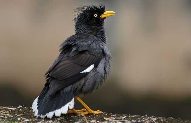 八哥鸟的饲养方法