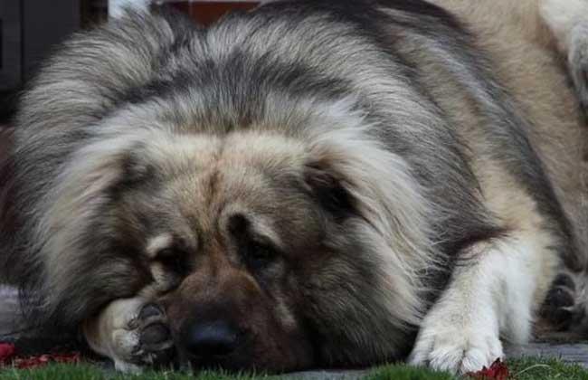 高加索犬性格怎么样