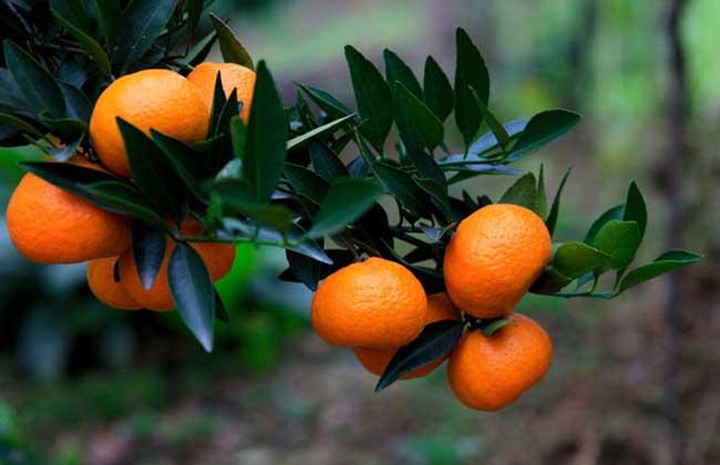 橘子品种图片大全 ·橘子果酱的功效及做法 ·烤橘子的功效及做法