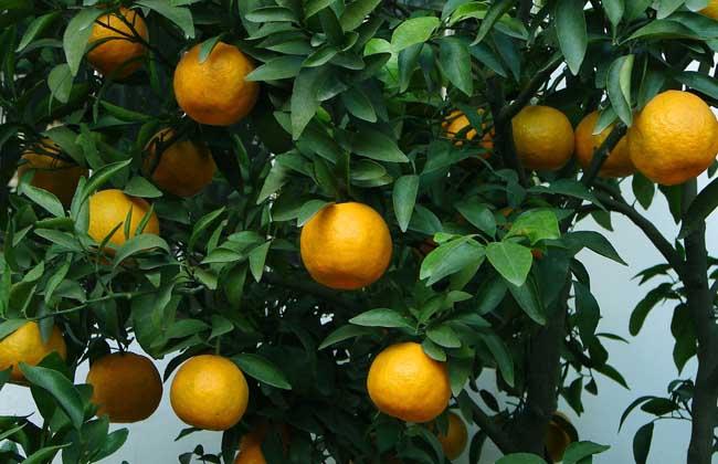 橘子几月份成熟上市