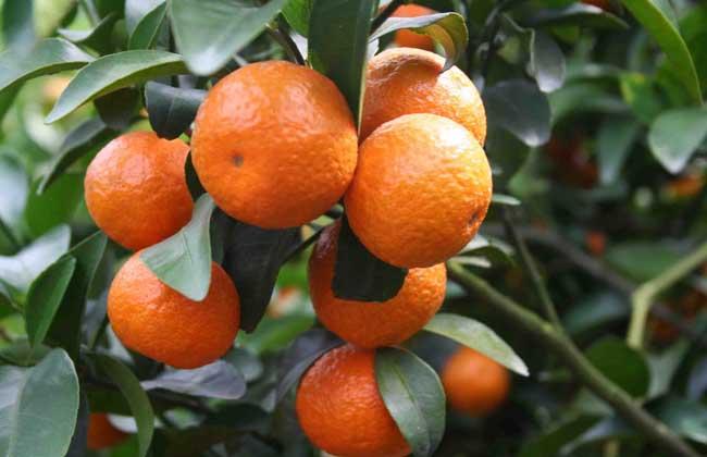 橘子产地在哪里?