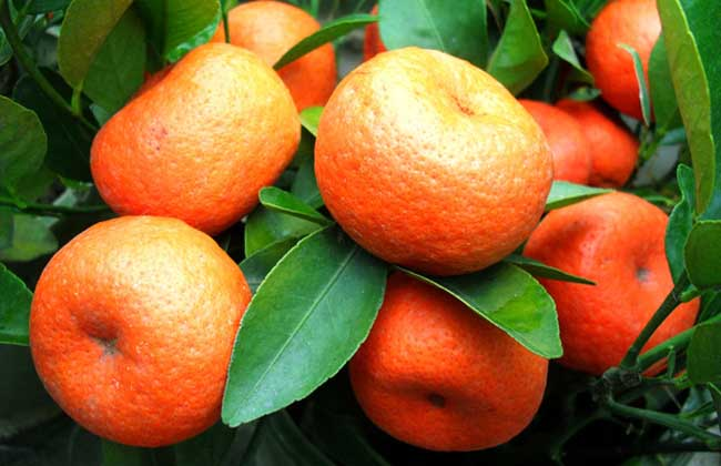 橘子树种植技术
