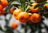 橘子树的种植技术