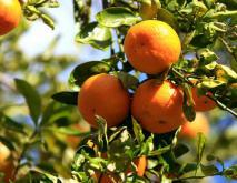 橘子品种图片大全