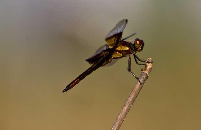 蜻蜓点水是为了什么