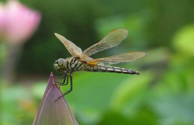蜻蜓幼虫吃什么食物