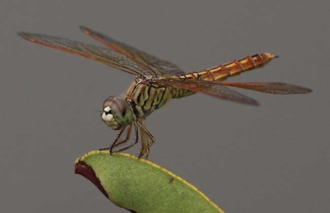蜻蜓是益虫还是害虫