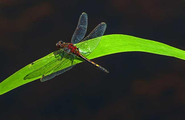 蜻蜓有哪些常见种类