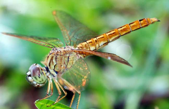 蜻蜓是益虫还是害虫?