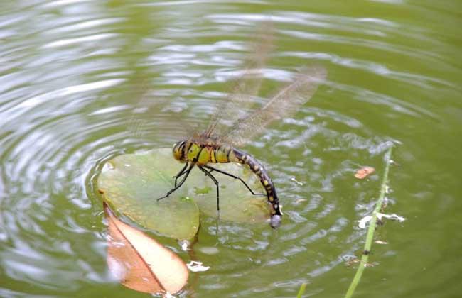 蜻蜓点水是为了什么?