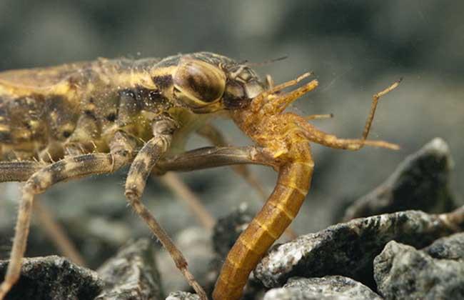 蜻蜓幼虫叫什么名字