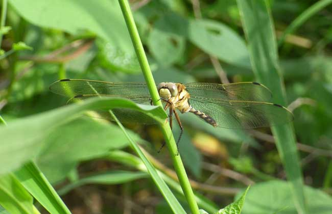 蜻蜓吃什么食物?