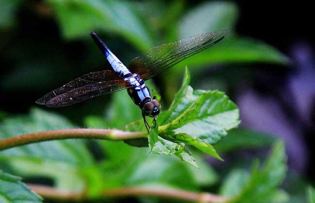 蜻蜓是昆虫吗?
