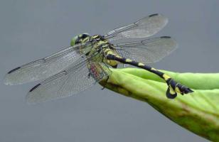 蜻蜓能活多长时间?