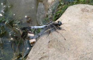蜻蜓是怎么交配的?