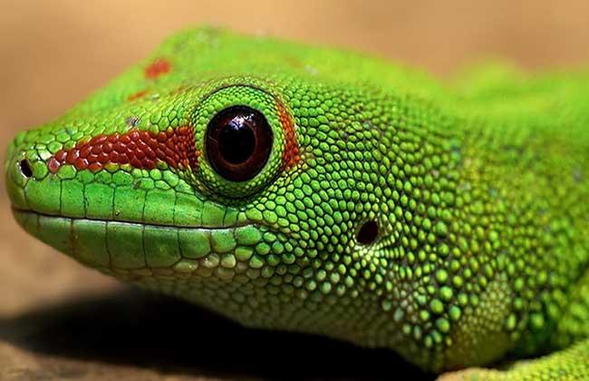 蜥蜴吃什么食物
