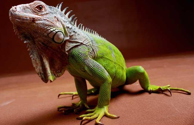 绿鬣蜥多少钱一只?