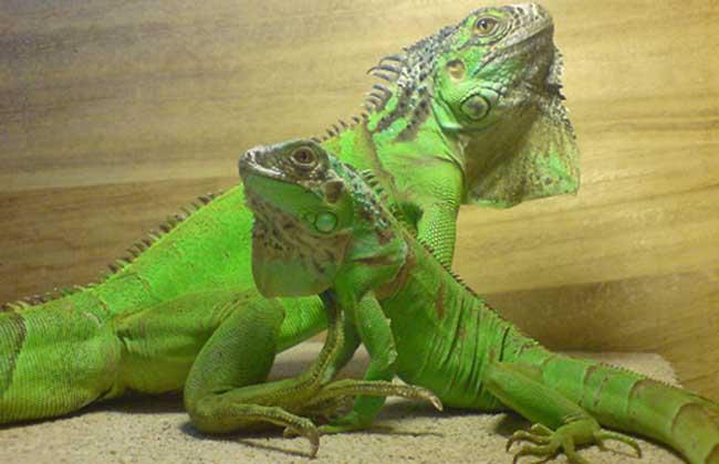 绿鬣蜥多少钱一只