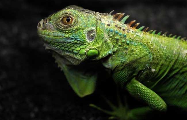 绿鬣蜥吃什么食物?