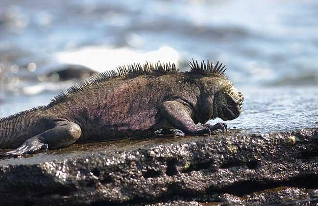 海鬣蜥多少钱一只?