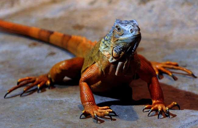 红鬣蜥多少钱一只?