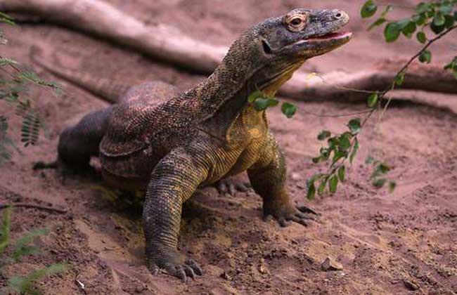 科莫多巨蜥是恐龙吗