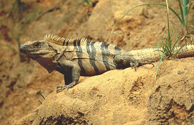 刺尾鬣蜥多少钱一只