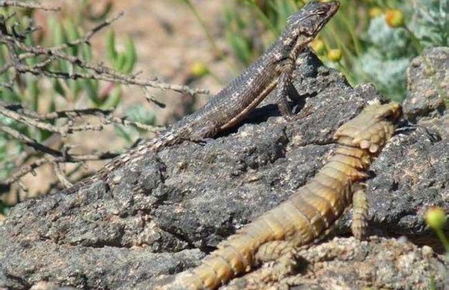 南非犰狳蜥多少钱一只