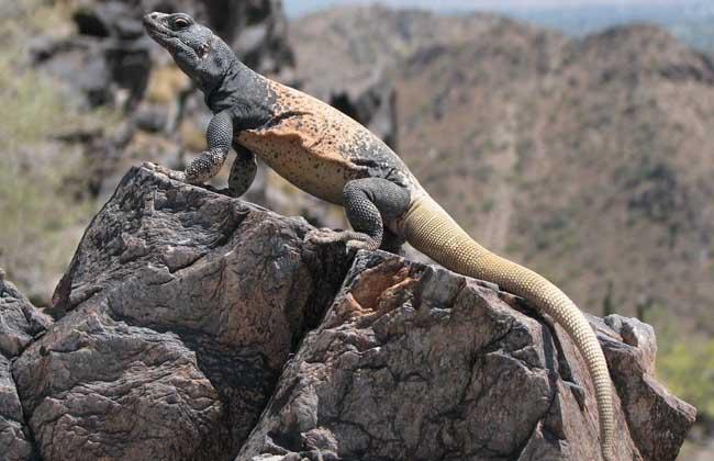 蜥蜴是保护动物吗
