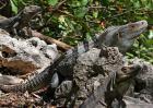 刺尾鬣蜥多少钱一只?