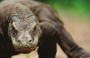 科莫多巨蜥是恐龙吗?