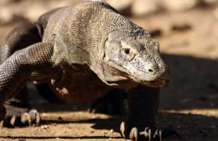 科莫多巨蜥有天敌吗?