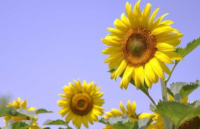 向日葵高产种植技术