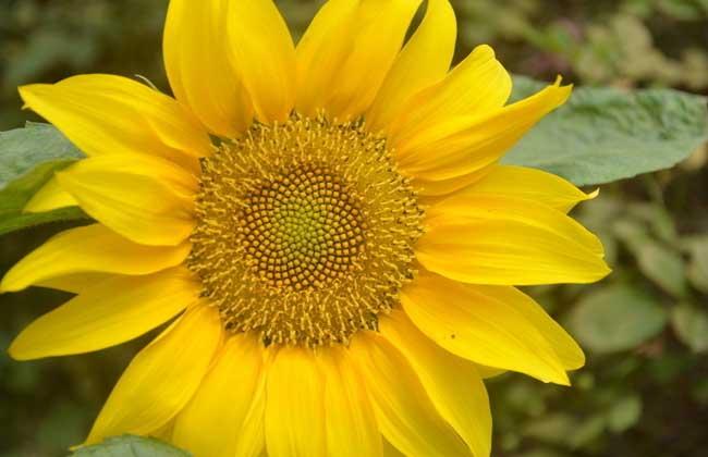 关于向日葵的唯美句子