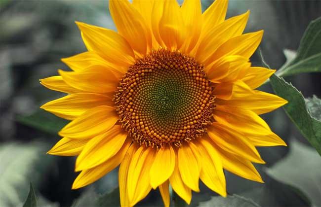 向日葵什么时候播种?