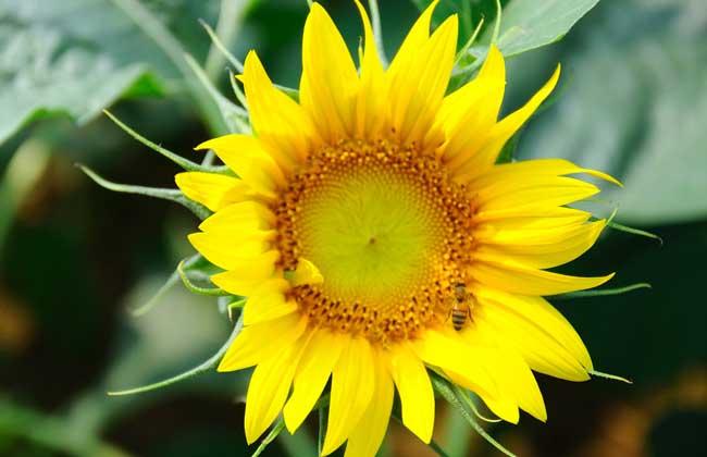 向日葵什么时候播种