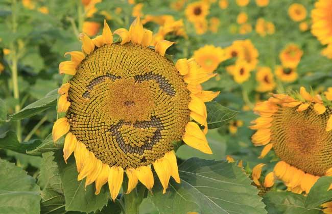 向日葵代表什么意思