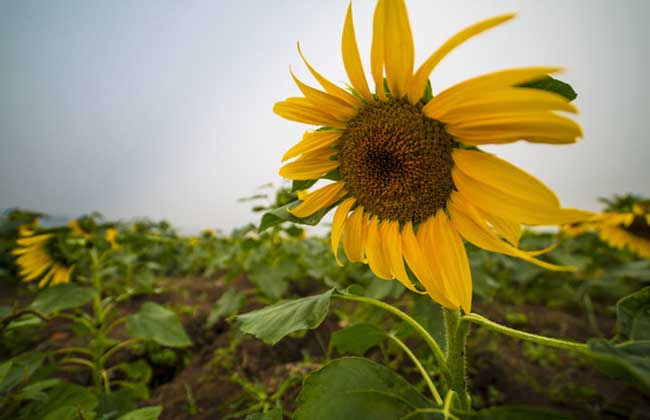 向日葵为什么向着太阳