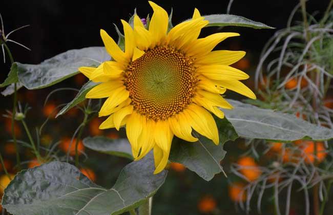向日葵什么时候开花?